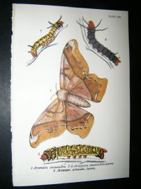 Allen & Kirby 1890's Antique Moth Print. Arsenura cassandra